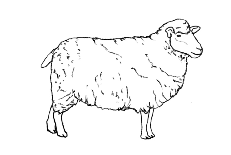 750x503 How To Draw A Sheep Sheep Drawing, Draw And Draw Animals