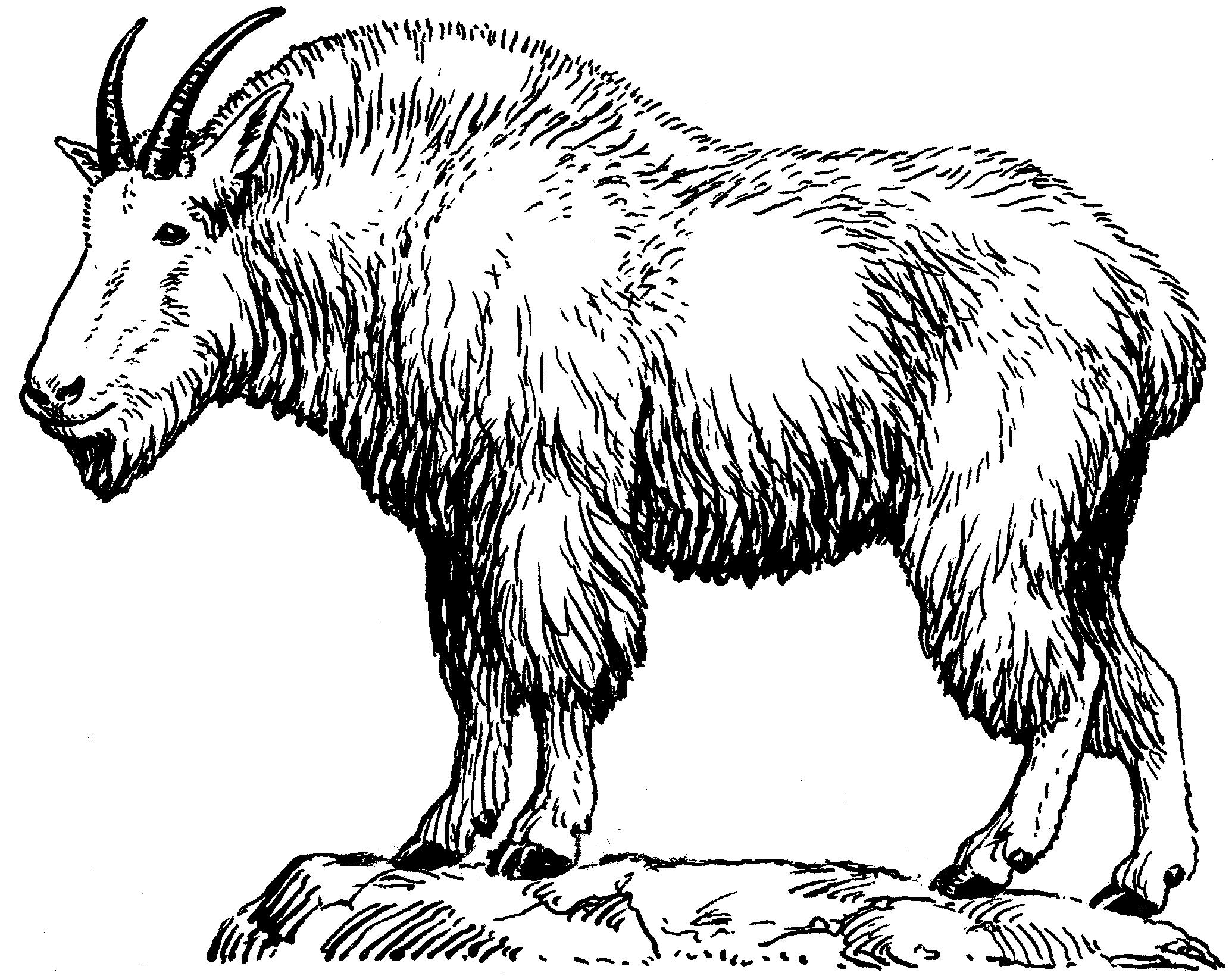 2070x1640 Mountain Goat Drawing Mountain Goat Drawing Mountain Goat Head