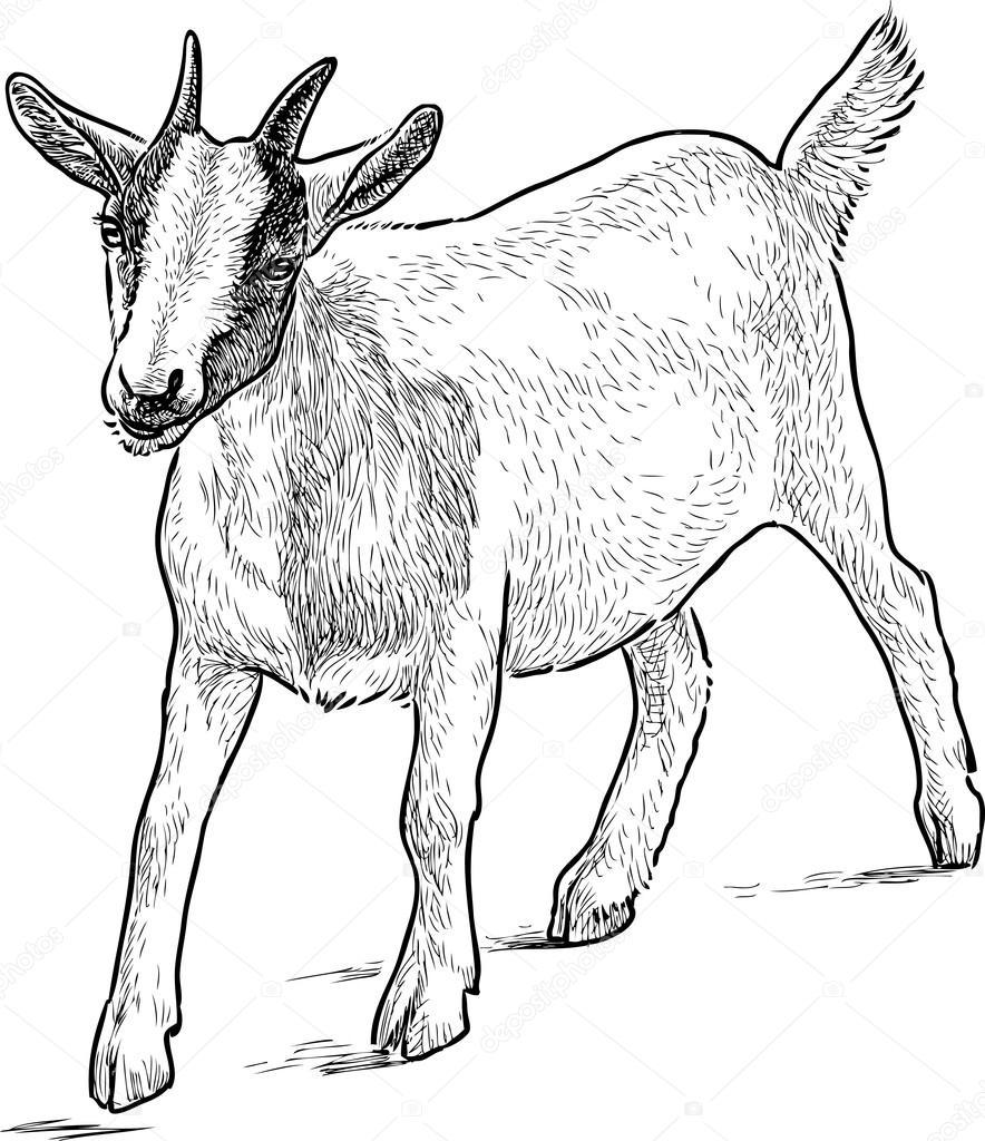 884x1024 Baby Goat Sketch Stock Vector Samakarov@mail.ru