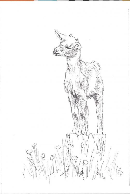 538x800 Baby Goat