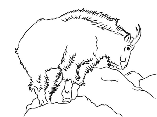 600x448 Drawing Mountain Goat Coloring Pages Drawing Mountain Goat