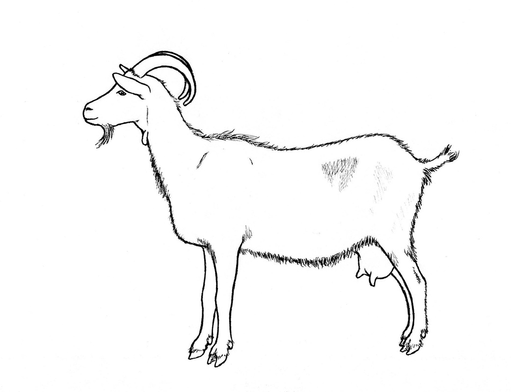 1041x800 Drawing Of A Goat Goat Picture Drawing