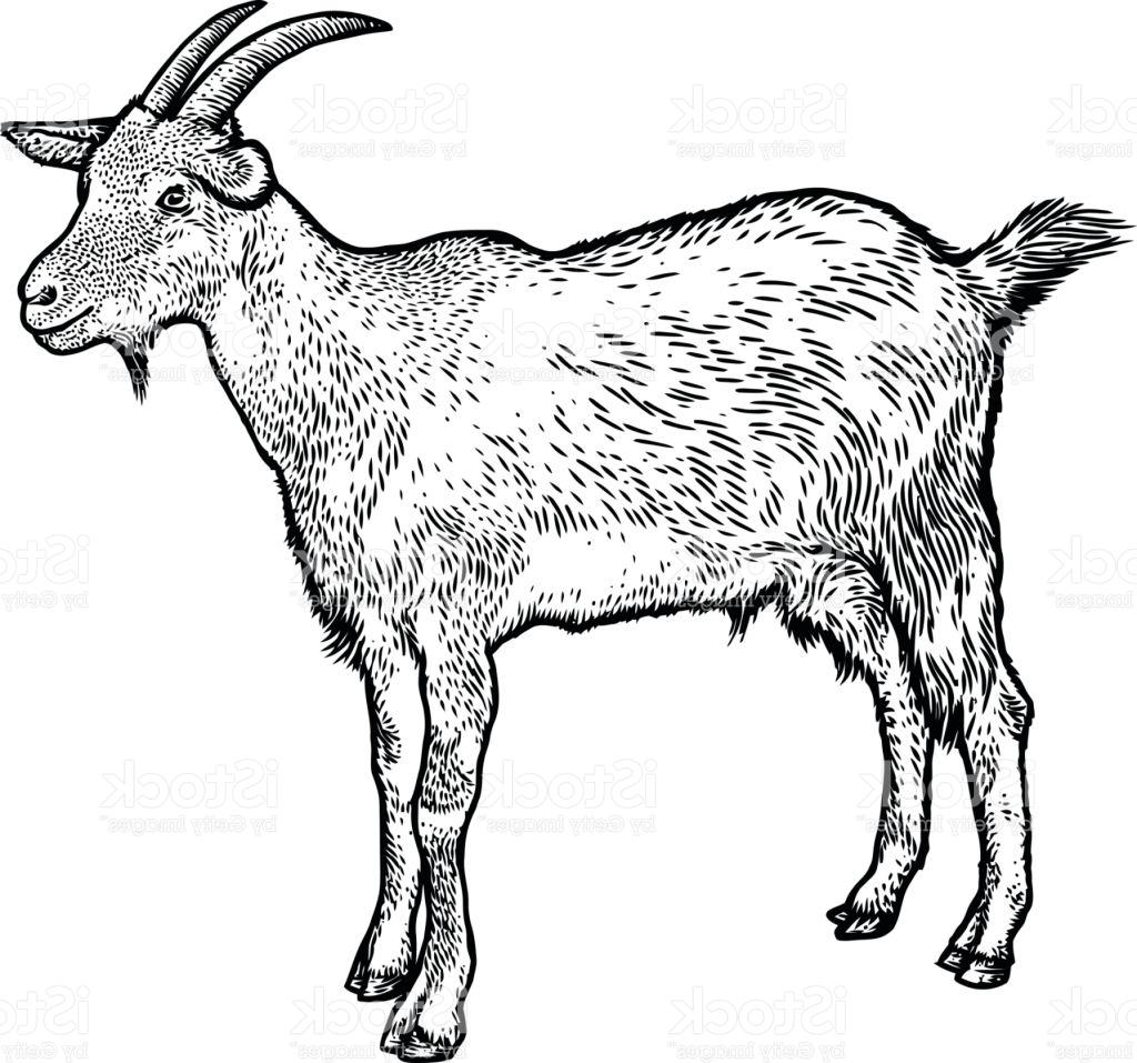 1024x957 Hd Goat Illustration Drawing Engraving Line Art Realistic Vector