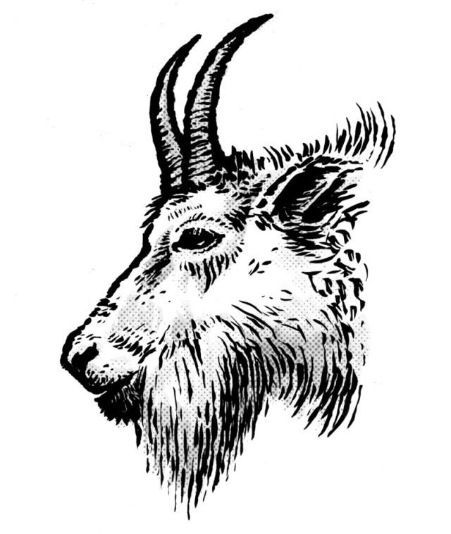 640x758 Mountain Goat Head Drawing