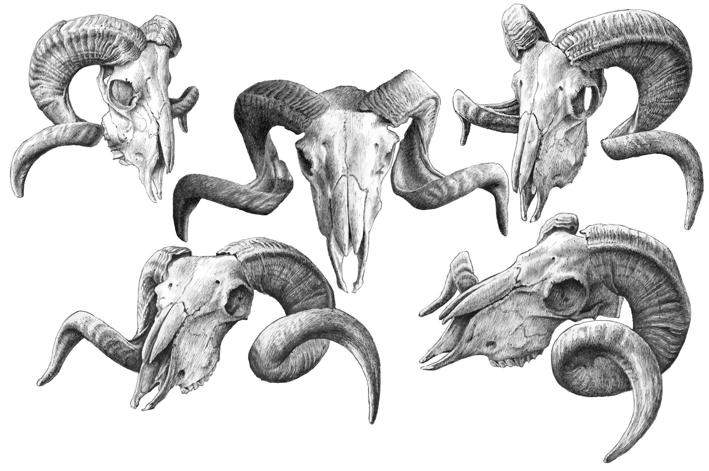 2417x1608 Goat Skulls. Hand Drawn Hand Drawn, Goats And Creative