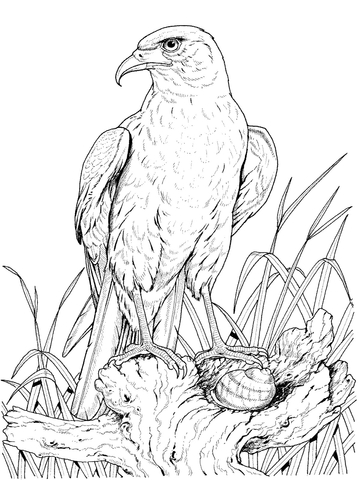 360x480 Perched Golden Eagle Coloring Page Free Printable Coloring Pages