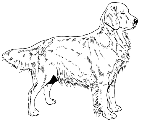 480x416 Golden Retriever Dog Coloring Page Free Printable Coloring Pages