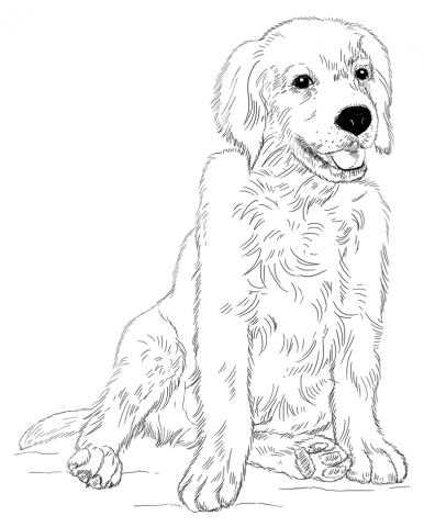 386x480 Golden Retriever Puppy Coloring Page Art Draw Animals