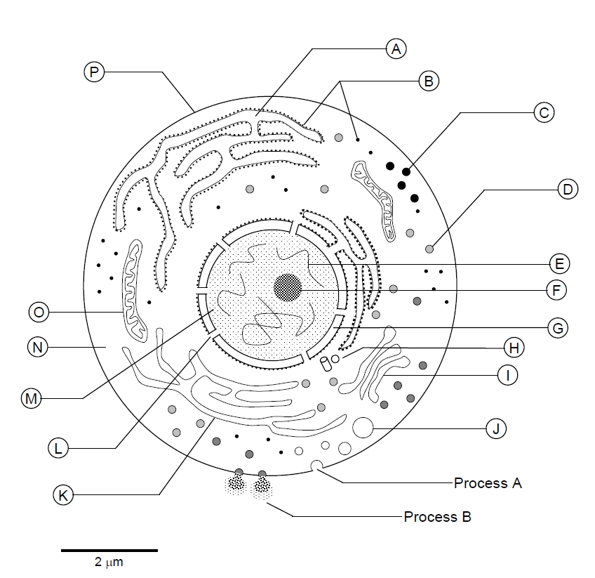 Golgi apparatus drawing at getdrawings free for personal use 848x823 cell structure ccuart Image collections