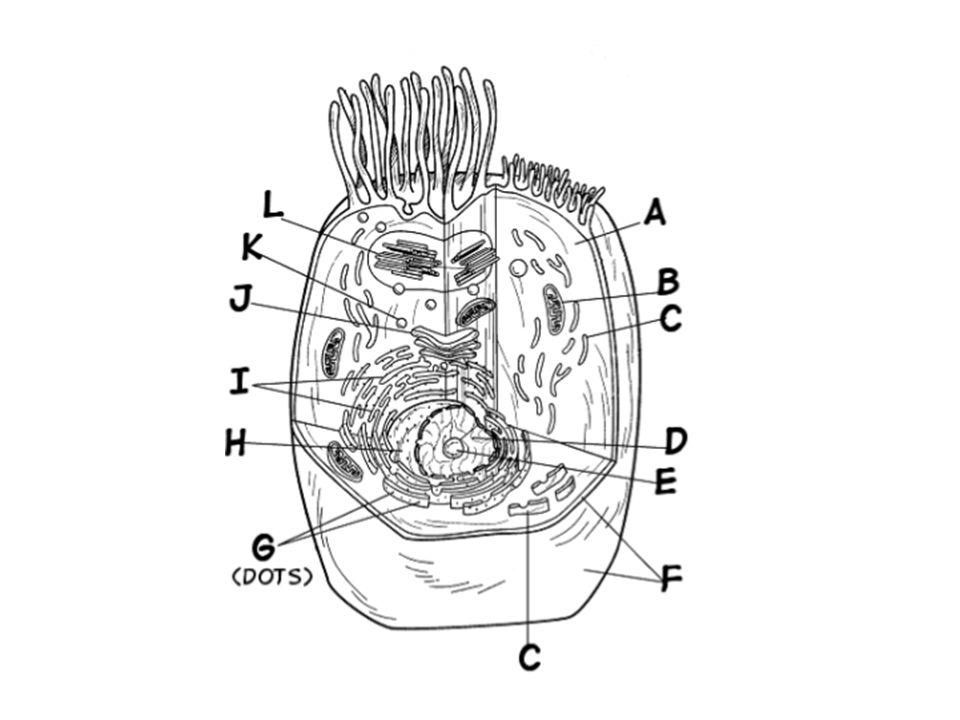 golgi apparatus drawing at getdrawings com