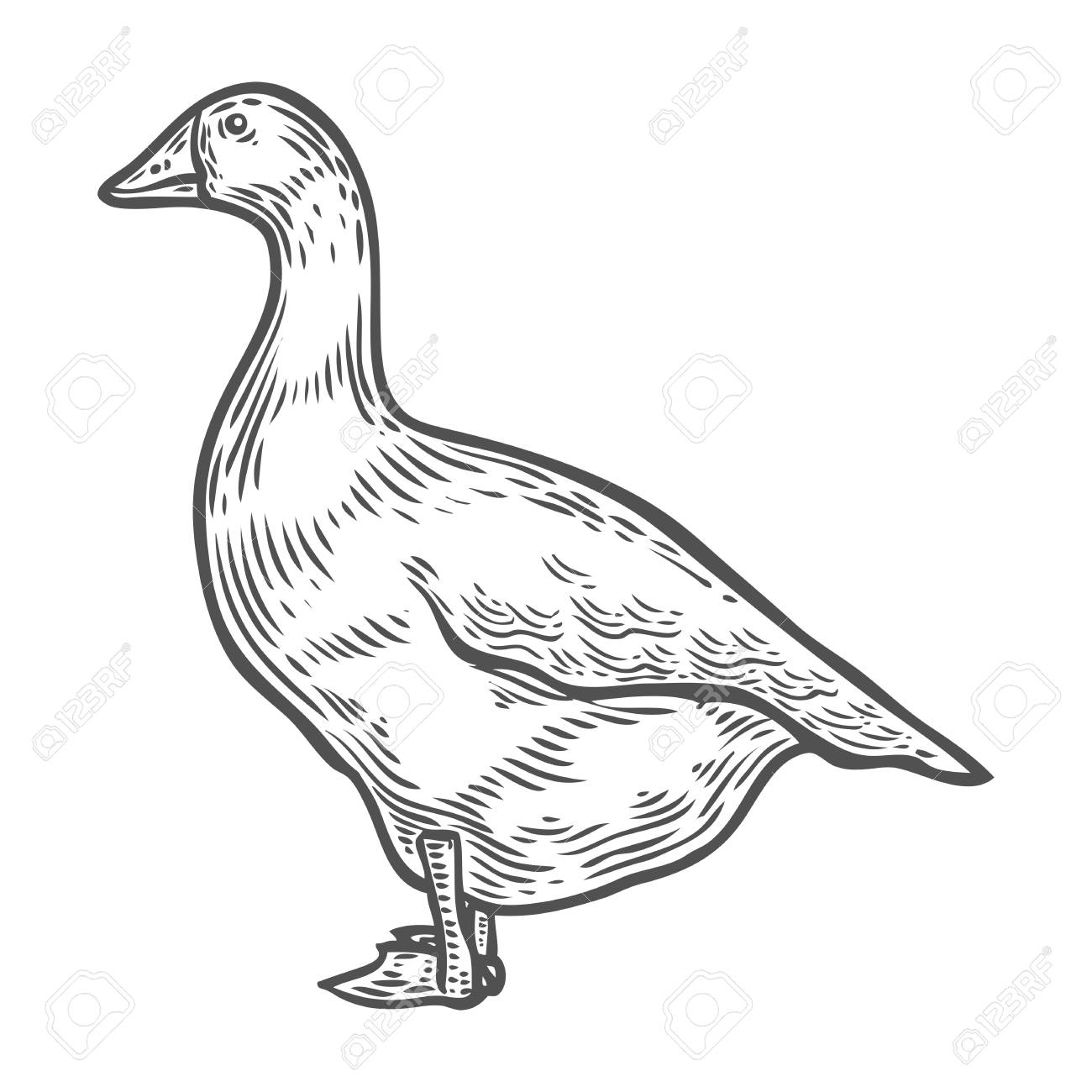 1300x1300 Grey Goose, Poultry, Vector Illustration Sketch, Farm Feathered