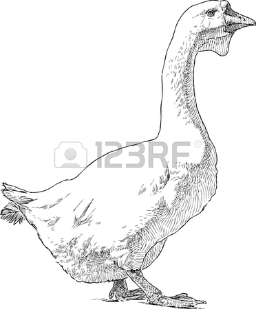 372x450 Vector Drawing Of A Big Domestic Goose. Royalty Free Cliparts
