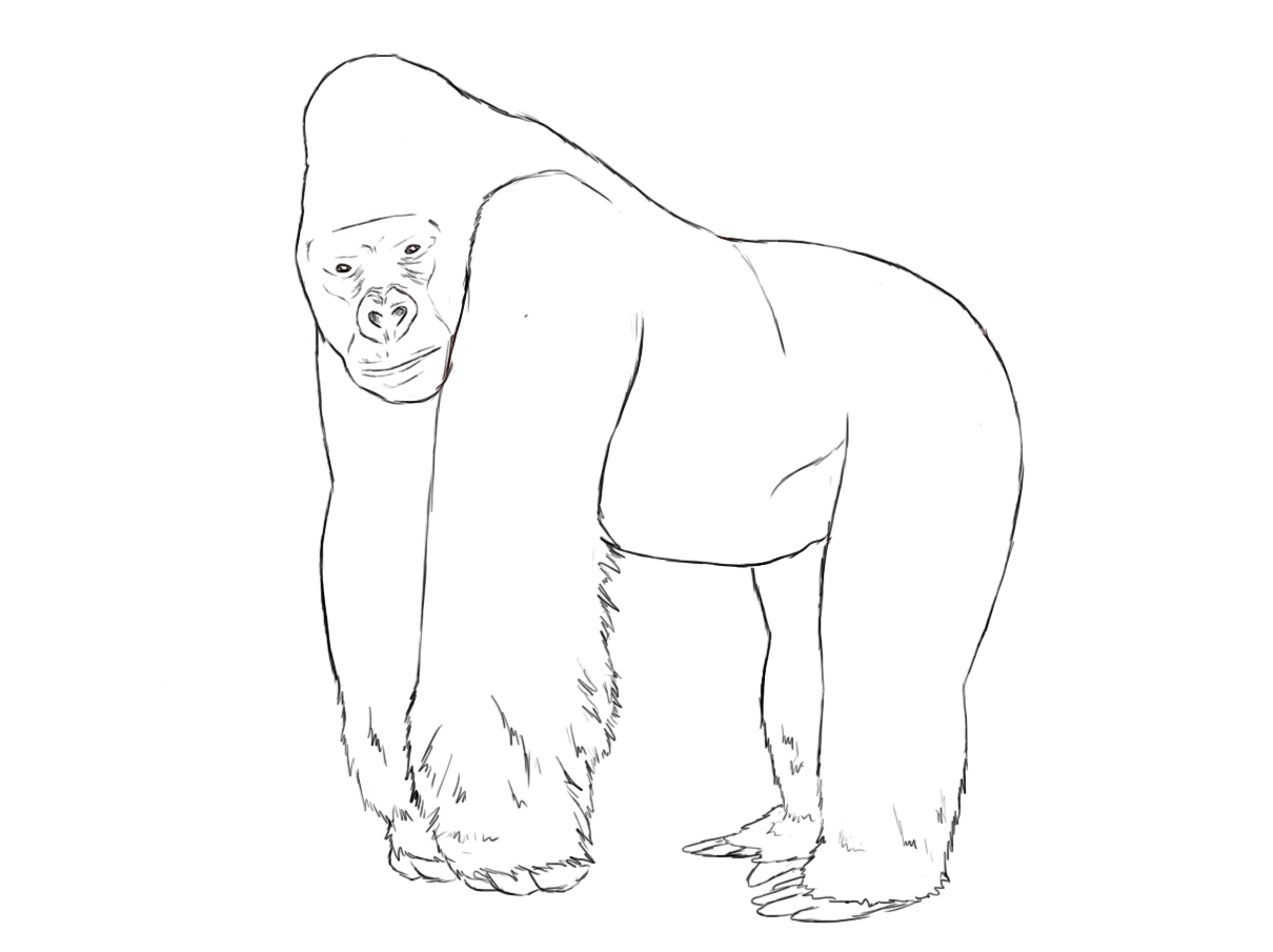 1210x905 How To Draw A Gorilla Zoos, Tutorials And Drawings