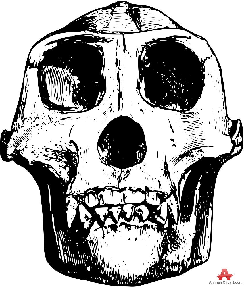 Gorilla Skull Drawing at GetDrawings.com | Free for personal use ...