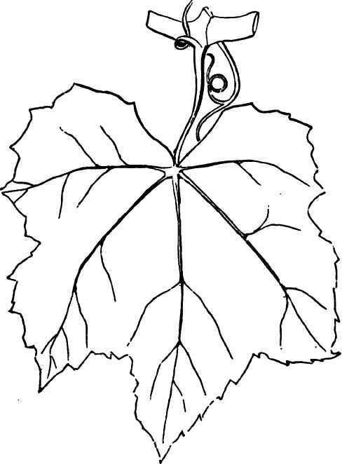 488x662 Grape Leaves