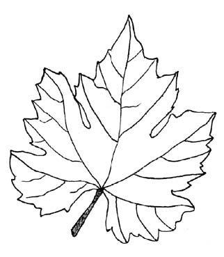 322x369 Grape Leaves (Vine Leaves)