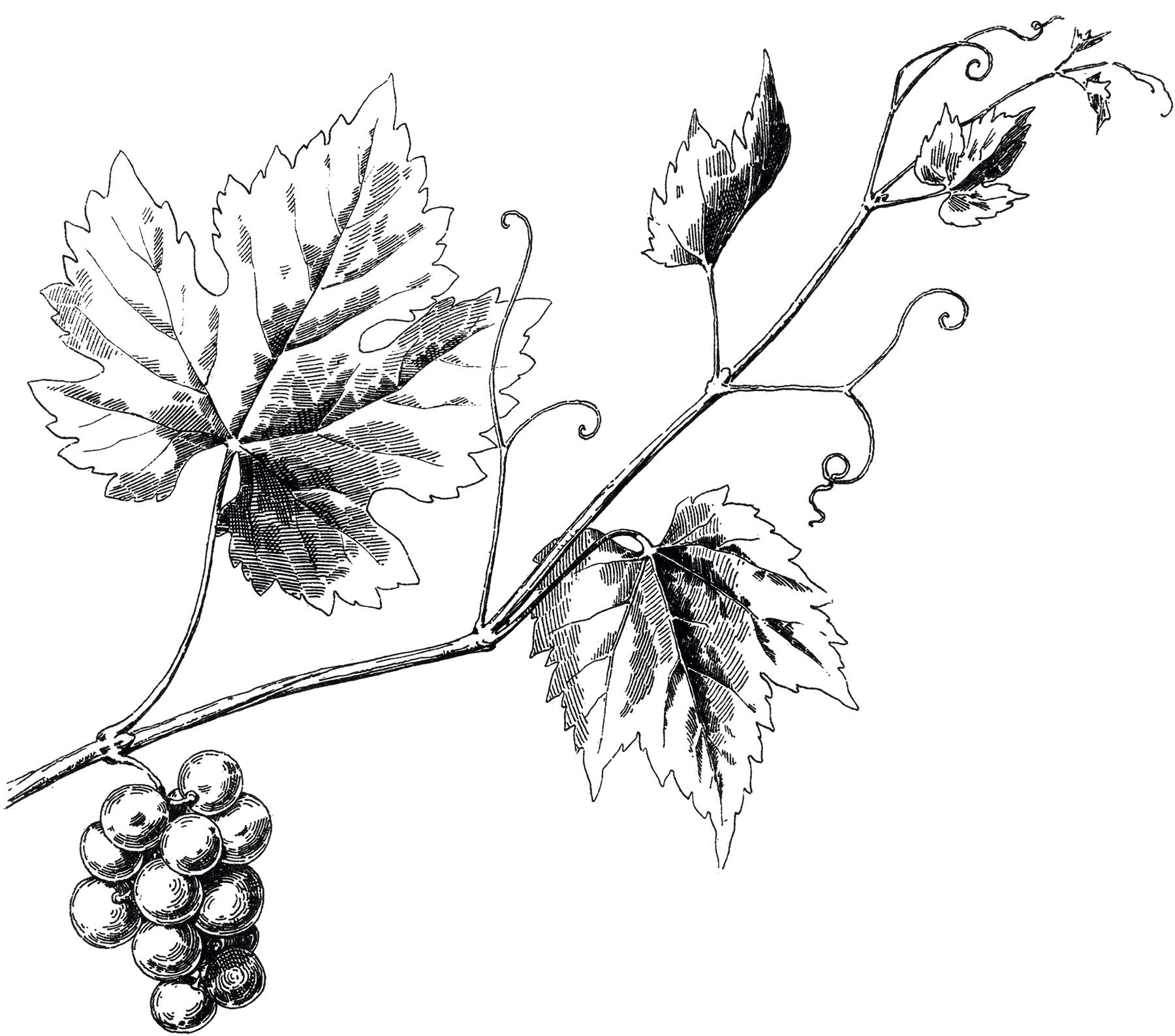 1800x1587 Vintage Grapevine Image