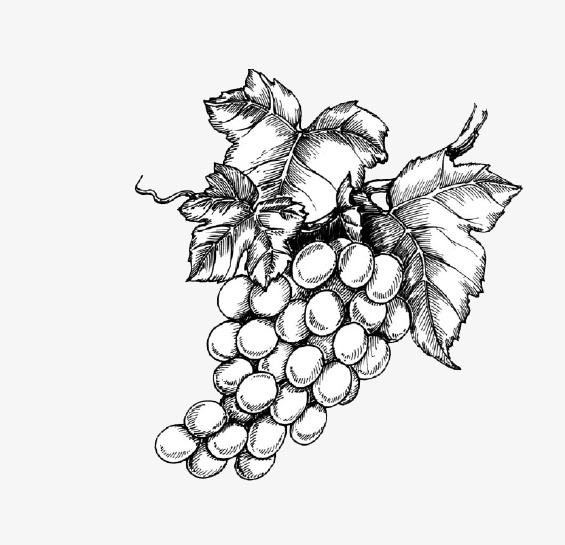 565x545 Sketch Of Ripe Grapes, Glucose, Sketch, Ripe Fruit Png Image