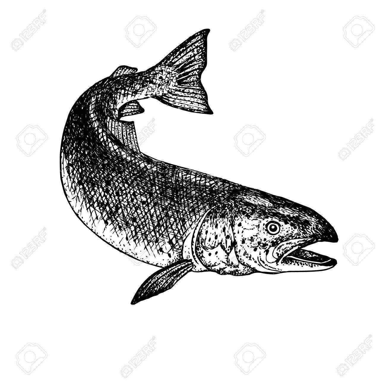 1300x1300 Hand Drawn Salmon. Retro Sketch Isolated. Vintage Hypster Image