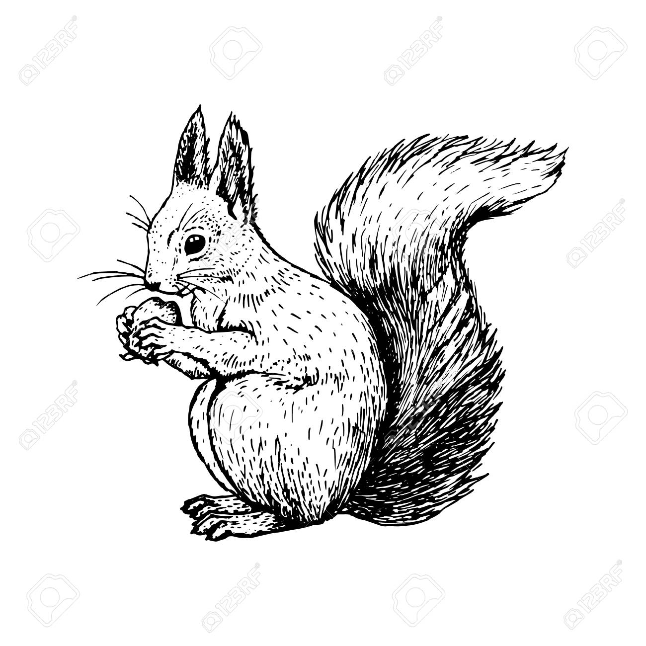 1300x1300 Hand Drawn Squirrel. Retro Realistic Animal Isolated. Vintage