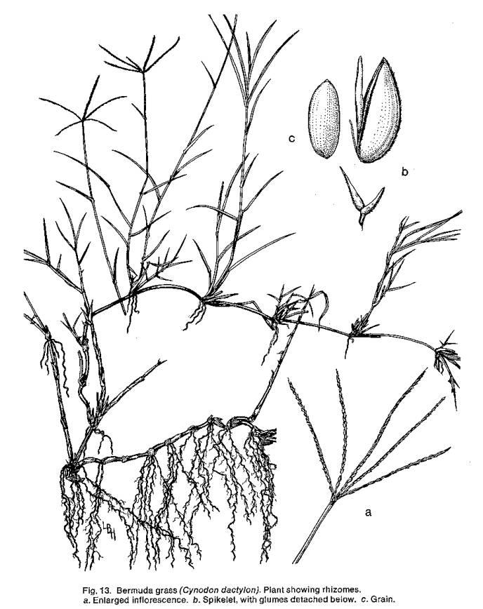 688x868 Bermuda Grass Line Drawing