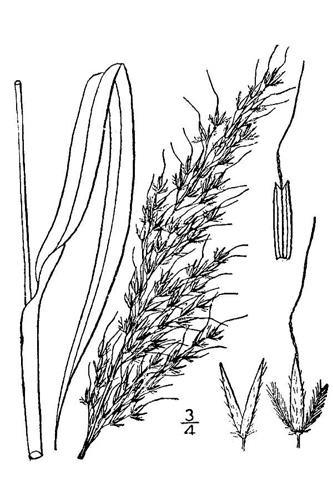 333x500 Indiangrass, Sorghastrum Nutans (L). Nash