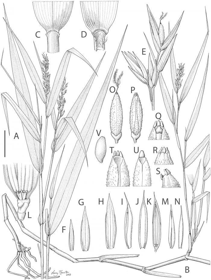 700x926 Ancient Madagascan Grass Sheds Light On Crop Evolution Kew