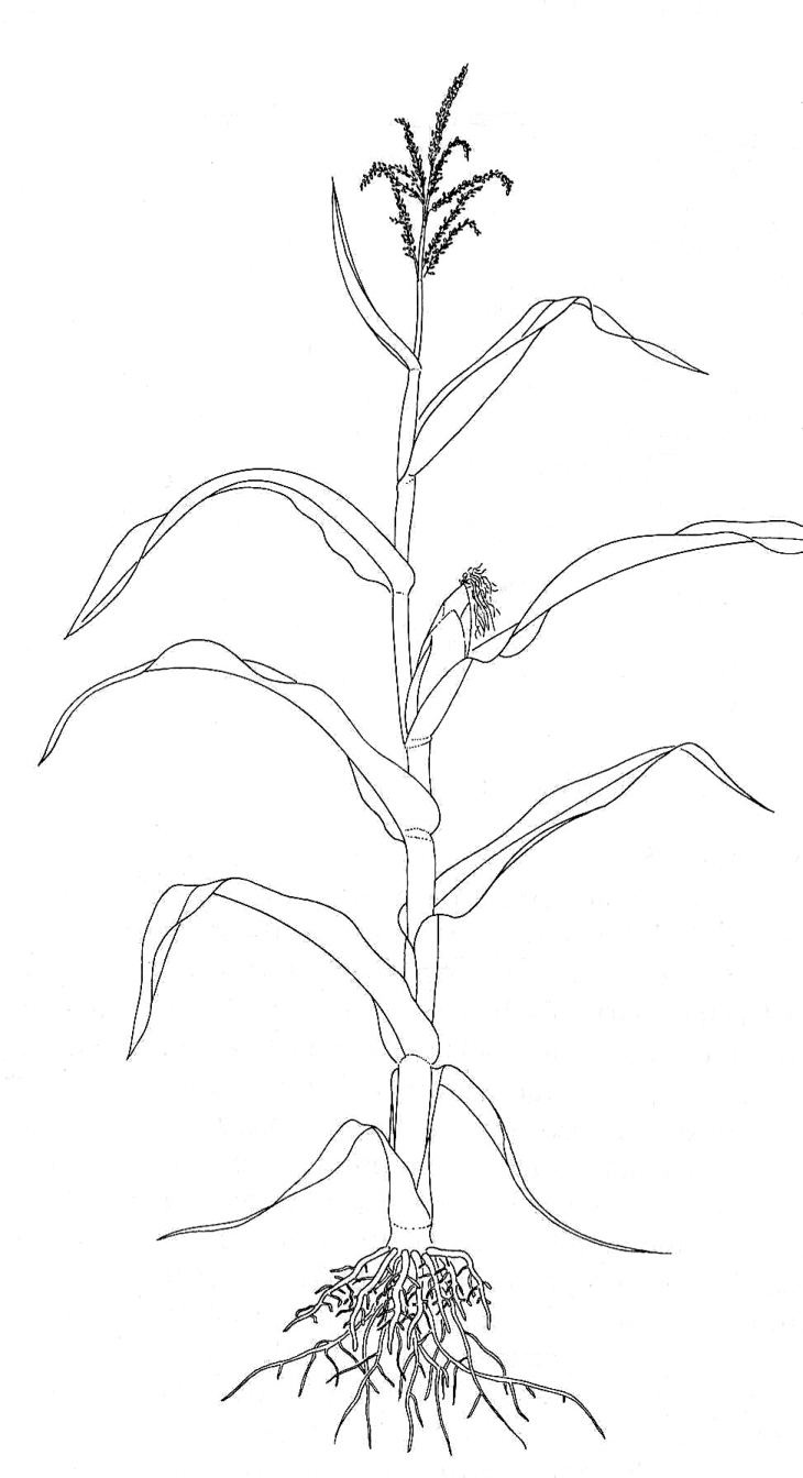 730x1344 Simple Sketches Of Grass Maize (Zea Mays), Biological Drawing