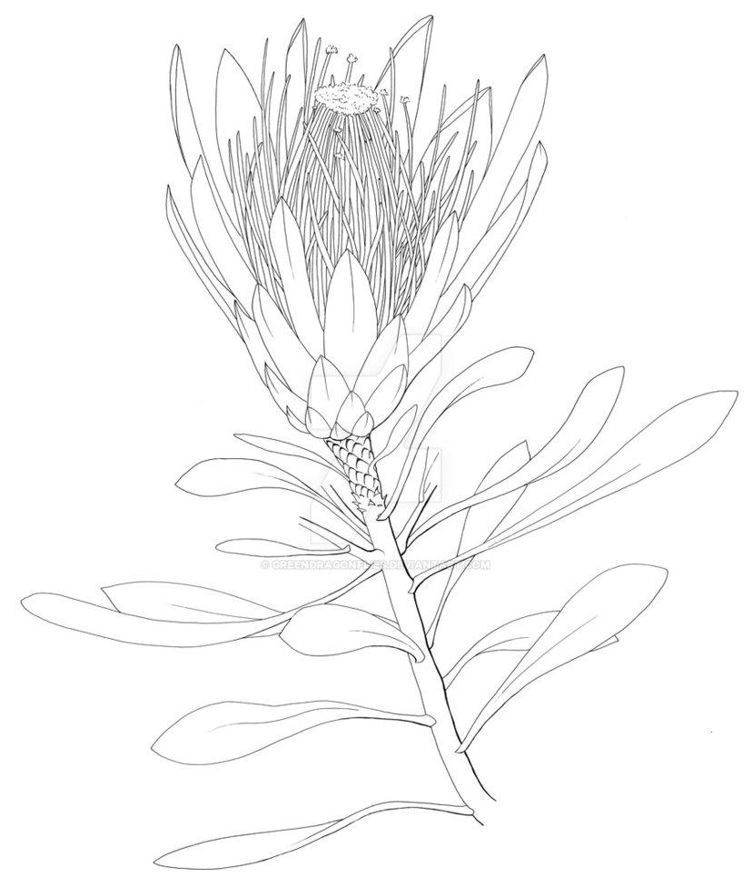 828x966 Protea Drawing