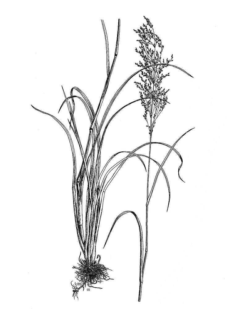 754x1000 Glyceria Grandis (American Manna Grass) Go Botany