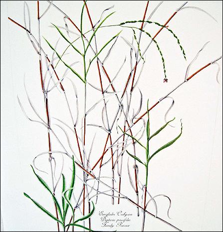 447x465 Grasses