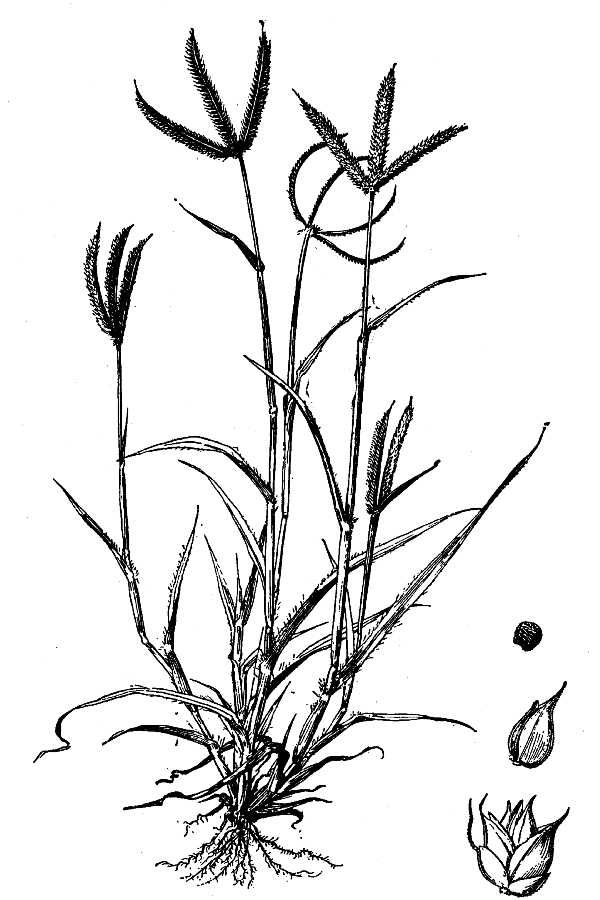 600x900 Large Image For Dactyloctenium Aegyptium (Egyptian Grass) Usda