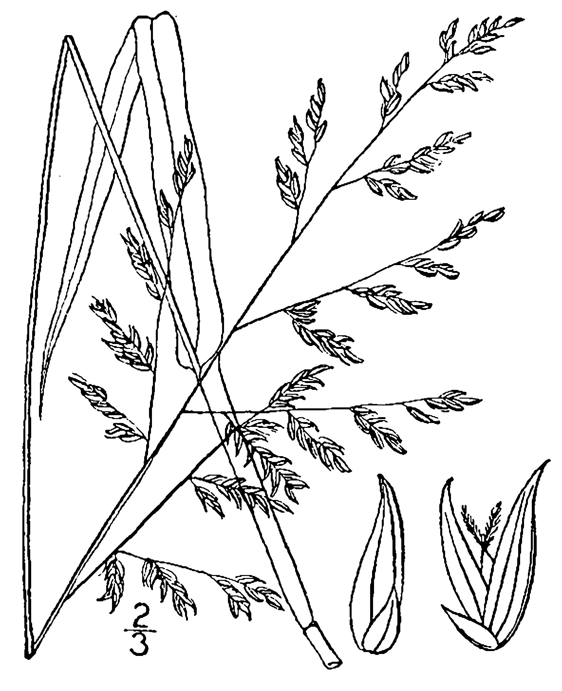 2308x2836 Panicum Anceps Michx. Beaked Panic Grass