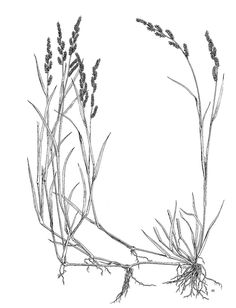 236x308 Pin By Donna Harris On Grasses