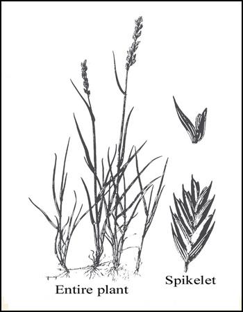 350x449 Western Wheatgrass