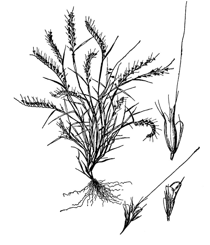 876x1024 Fileaegopogon Tenellus Drawing.png