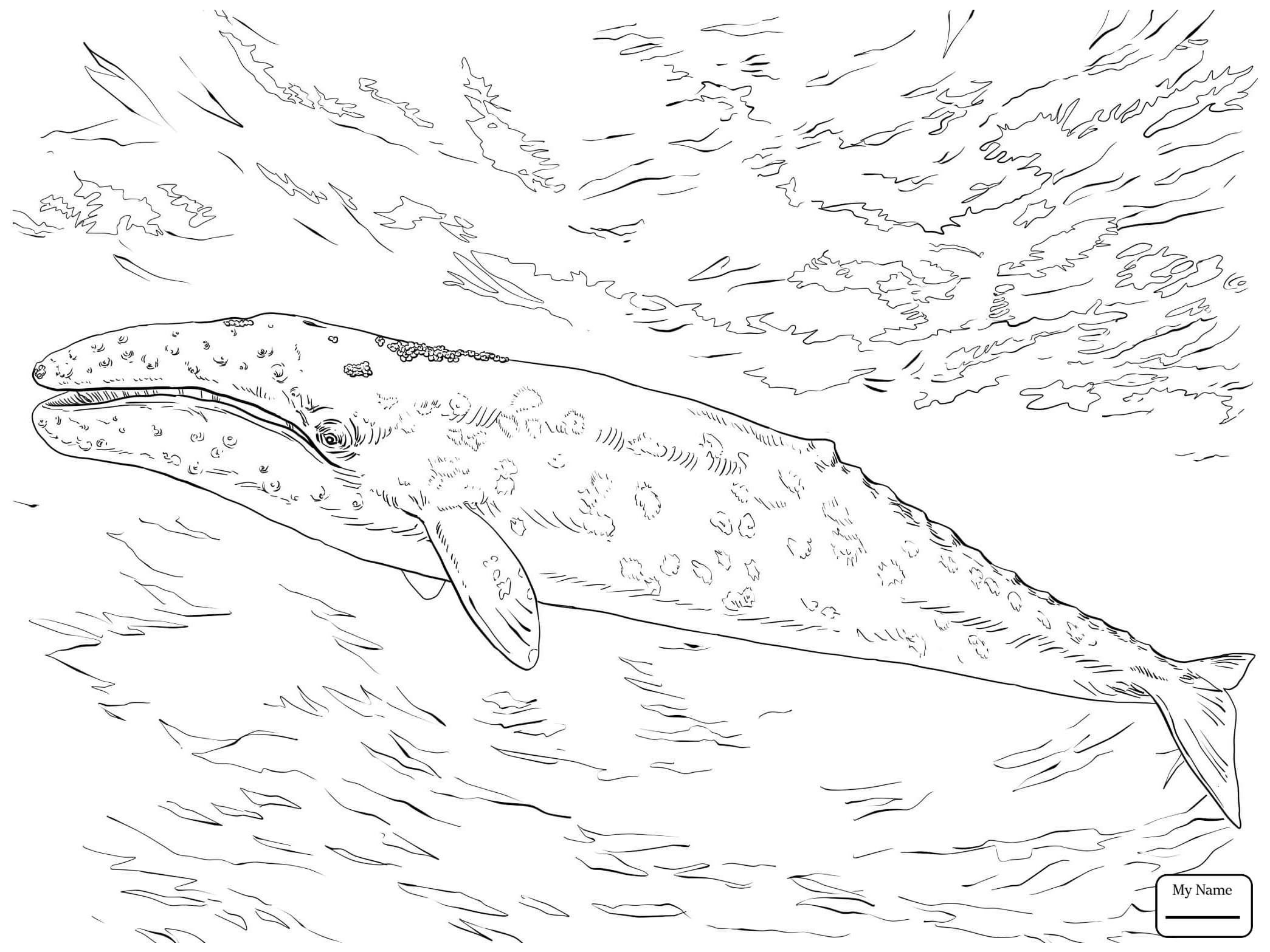 2089x1567 Coloring Pages For Kids Gray Whale Gray Whale Mammals