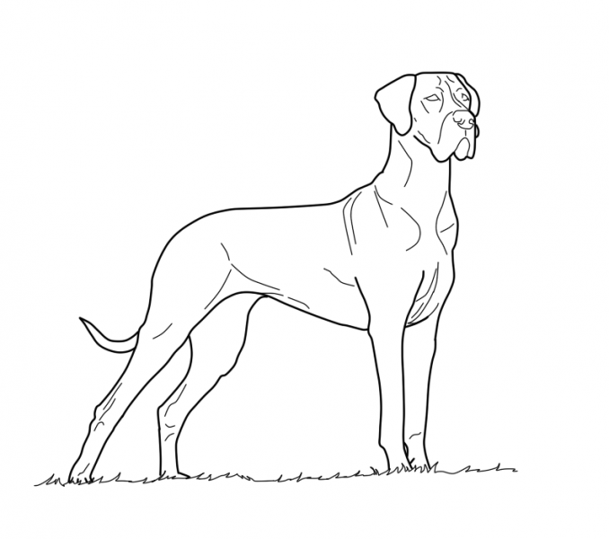 Great Dane Drawing At Getdrawings Com Free For Personal Use Male Color Page
