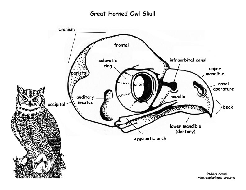 792x612 Owl (Great Horned) Skull Diagram And Labeling