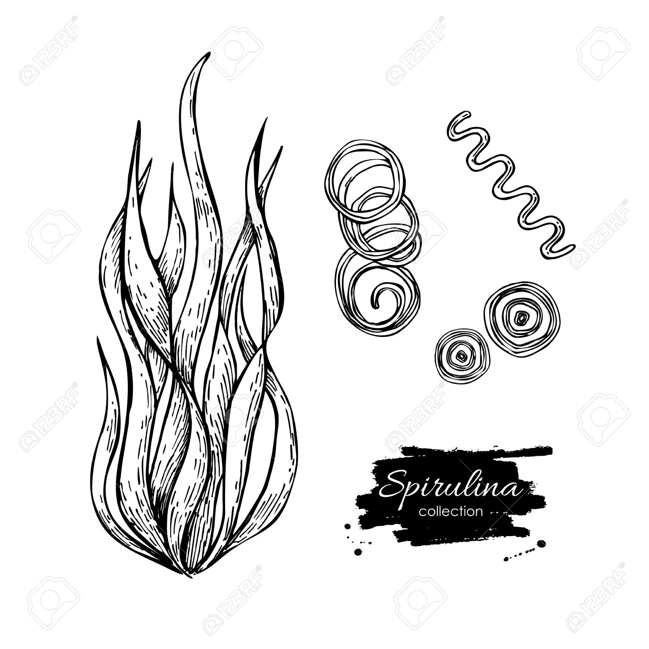 1300x1300 Spirulina Seaweed Hand Drawn Vector. Isolated Spirulina Algae
