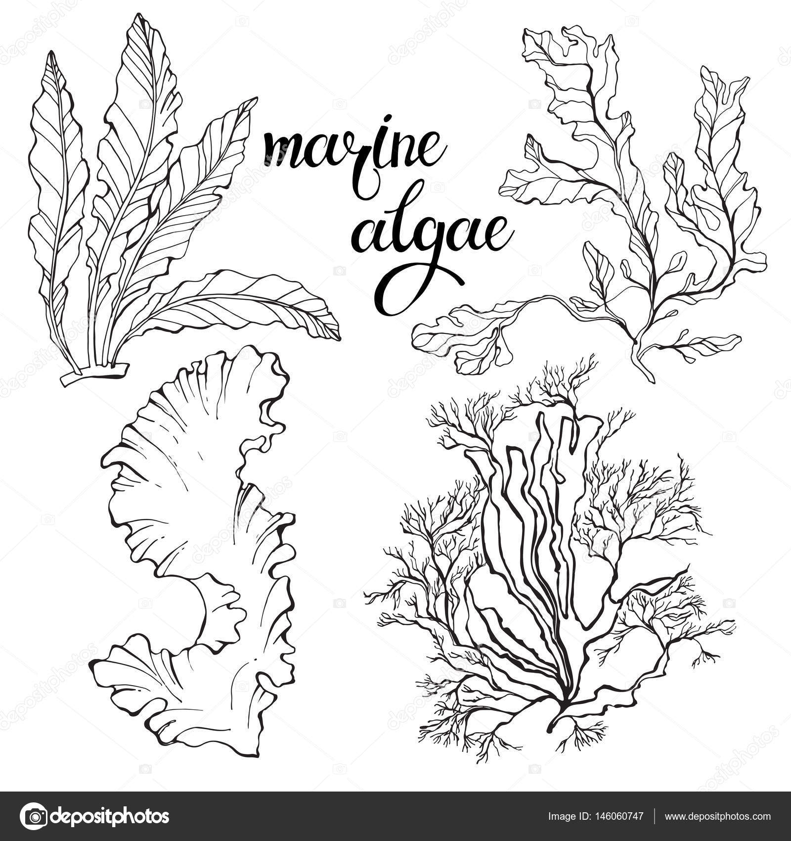 1600x1700 Hand Drawn Marine Algae. Stock Vector Maritime M