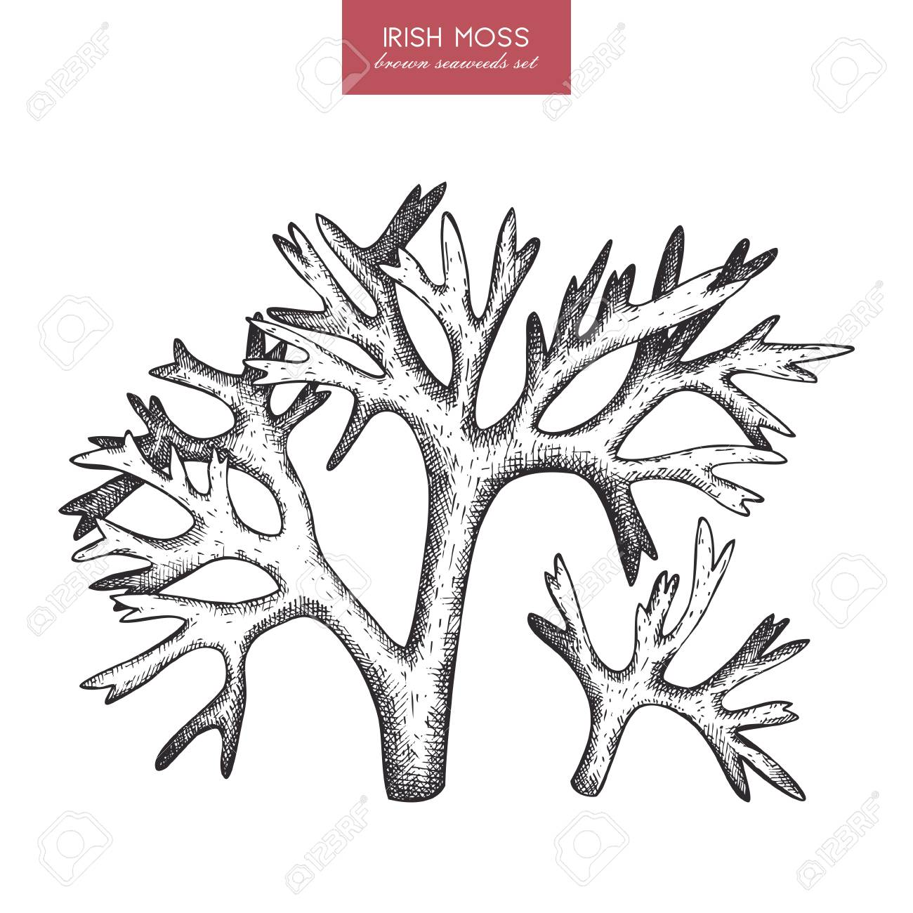 1300x1300 A Vector Sketch Of Hand Drawn Red Seaweeds