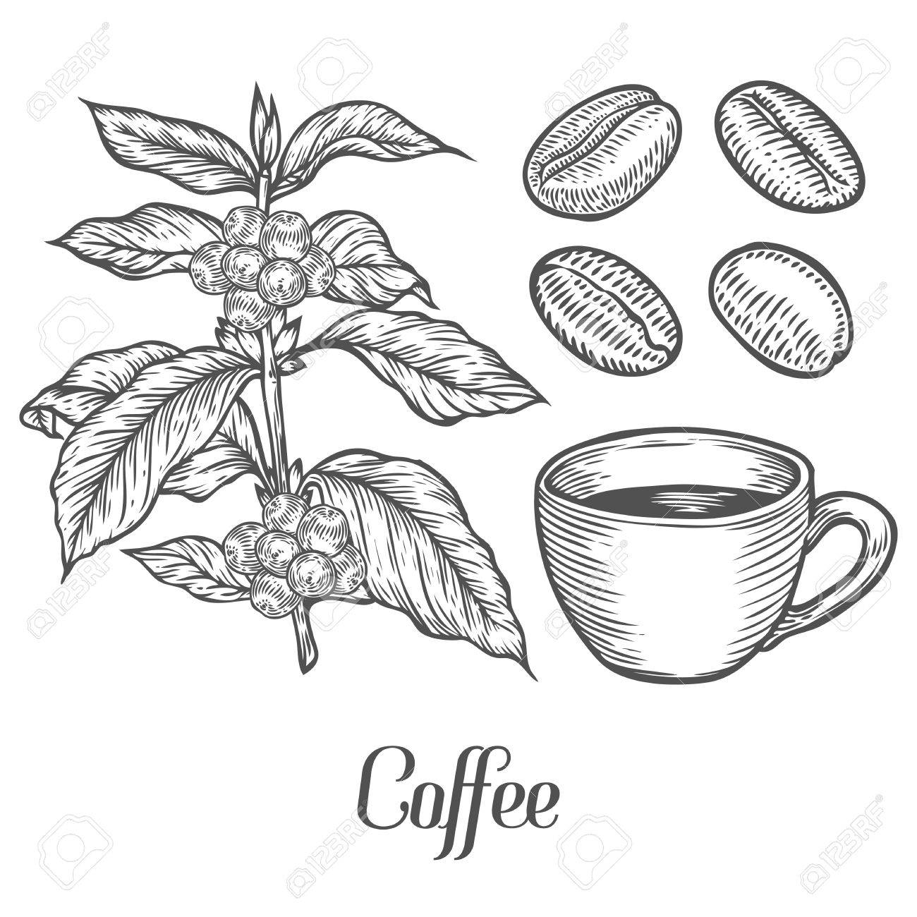 1300x1300 Coffee Plant Branch With Leaf, Berry, Coffee Bean, Cup, Seed