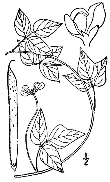 380x630 Amberique Bean, Trailing Wild Bean, Strophostyles Helvola (L.) Elliott