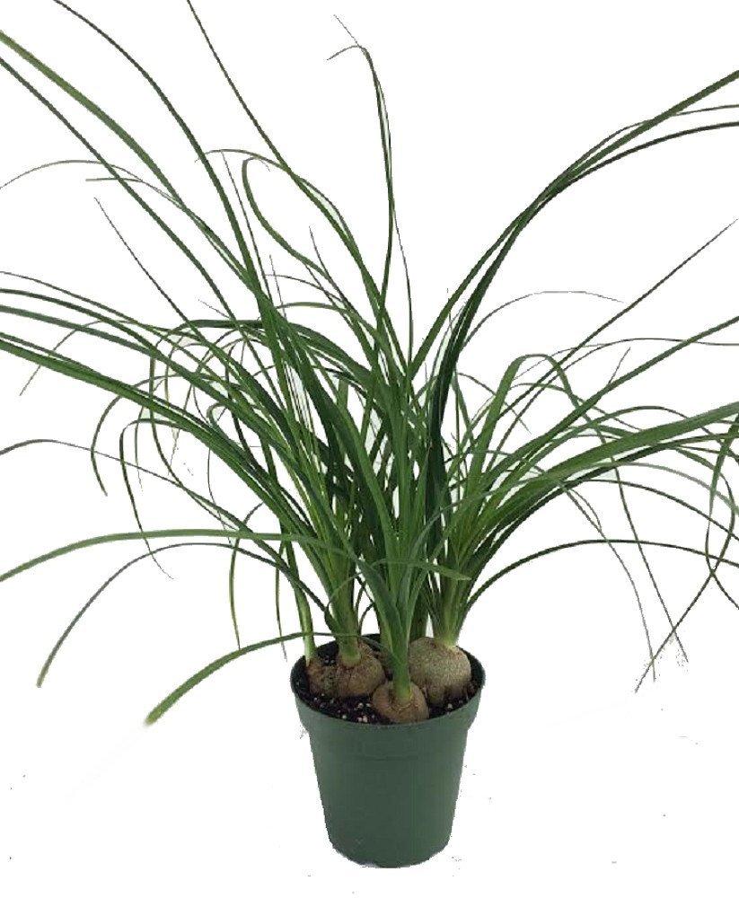 823x1000 Ponytail Palm