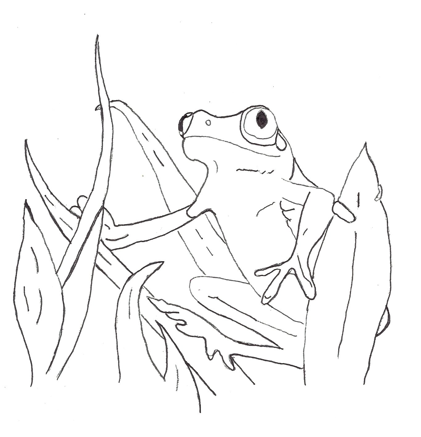 Green Tree Frog Drawing at GetDrawings.com | Free for personal use ...