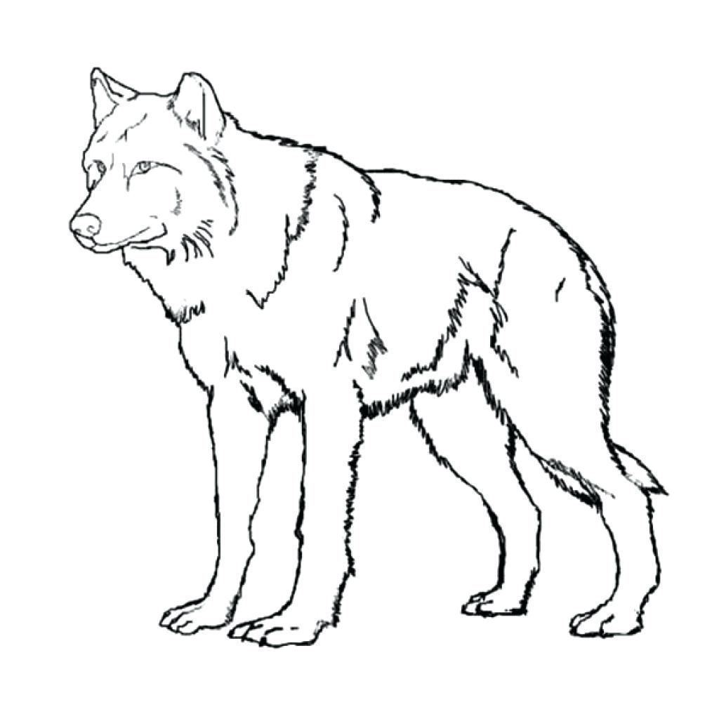 Grey Wolf Drawing at GetDrawings.com | Free for personal use Grey ...