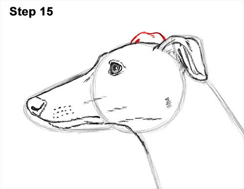 500x387 How To Draw A Dog (Greyhound)