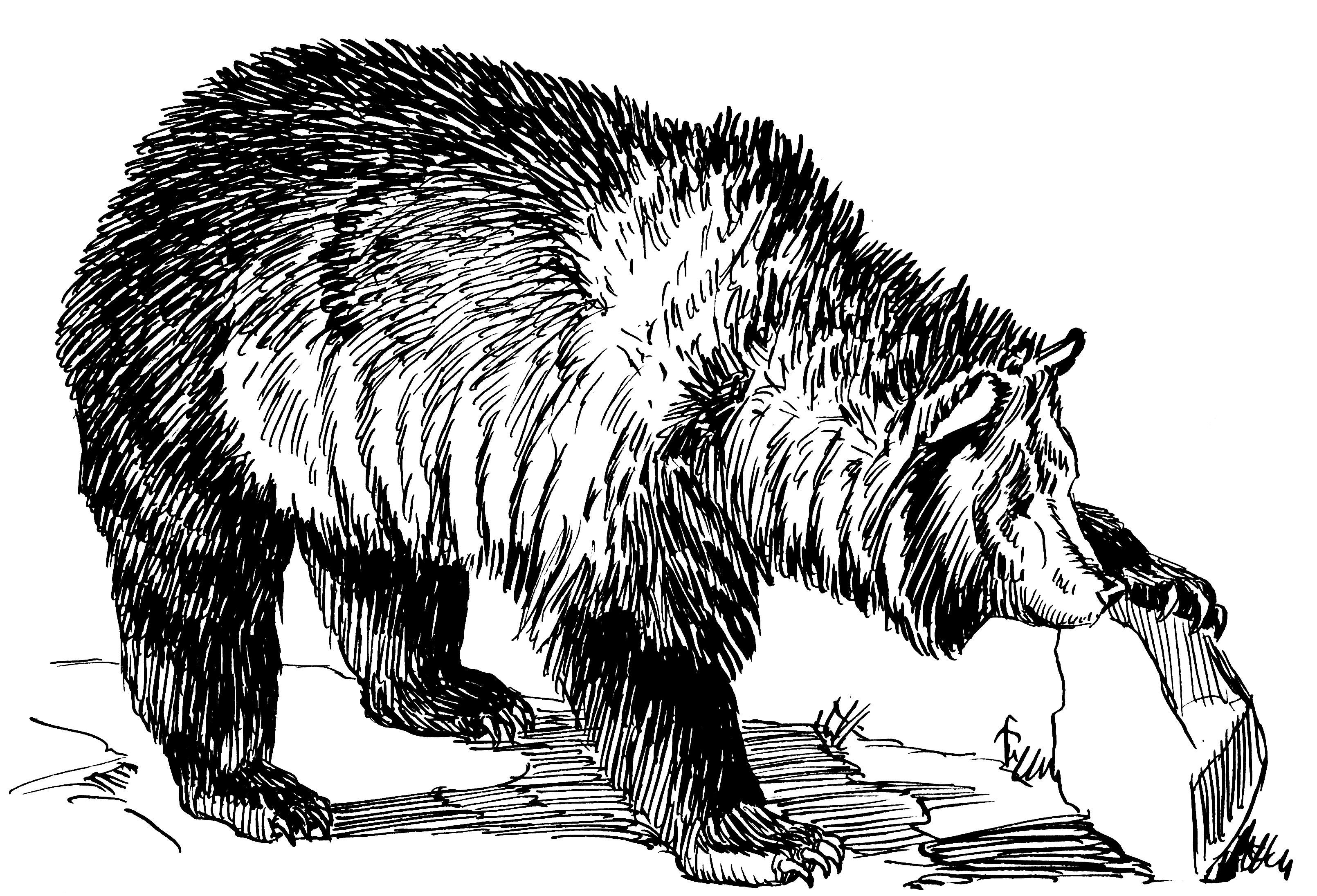 Grizzly Bear Drawing at GetDrawings.com | Free for personal use ...