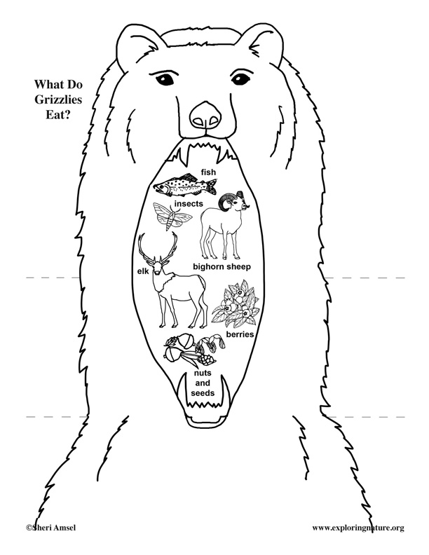 612x792 Do Grizzly Bears Eat Foldable Activity